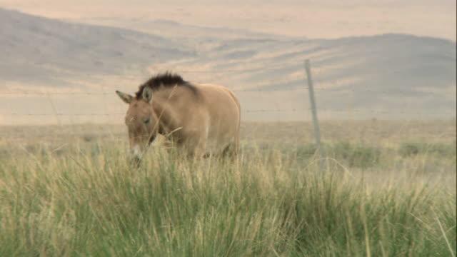 ts takhi horses walking and grazing in a vast windy plain / mongolia - przewalskihäst bildbanksvideor och videomaterial från bakom kulisserna