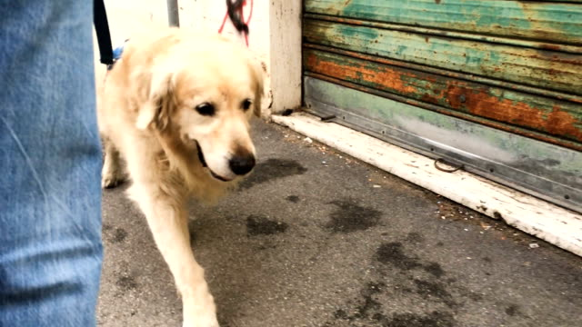 taking my dog for a walk - retriever stock videos and b-roll footage