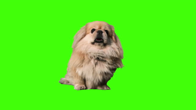 talking dog - green background stock videos & royalty-free footage