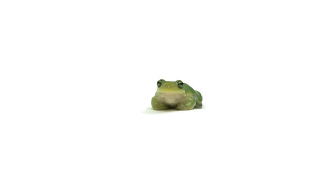 talking green tree frog - frog stock videos and b-roll footage