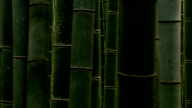 tall bamboo plants fill a forest. available in hd. - bamboo plant stock videos & royalty-free footage