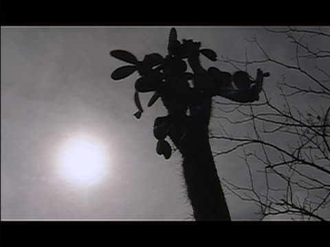 vídeos y material grabado en eventos de stock de ms la zoom in out tall cactus in silhouette with bright sun shining in sky in b/g , and tree with bare branches at side of cactus. - bare tree