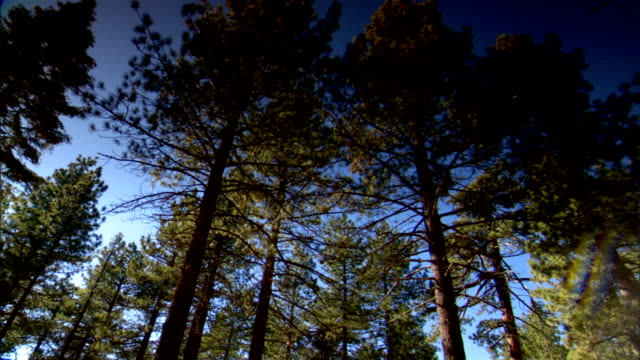 stockvideo's en b-roll-footage met tall california redwood trees sequoias in forest clear blue sky bg ca sequoia red woods - sequoiafamilie