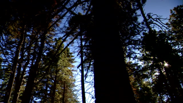 Tall California Redwood trees Sequoias in forest clear blue sky w/ BRIGHT GLARE of sun behind trees BG CA Sequoia Red woods