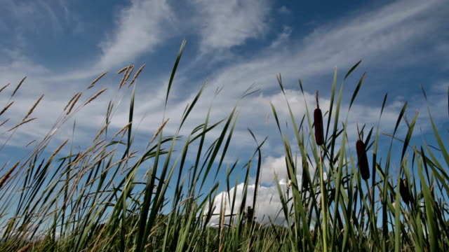 pov of tall cattails blowing in wind with sun flares. - bulrush stock videos & royalty-free footage