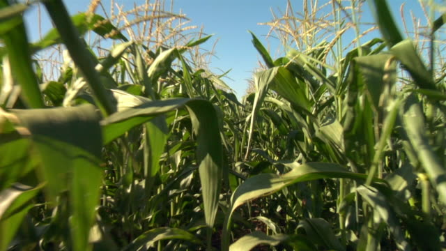 tall corn stalks pass on the right and left. - maize stock videos & royalty-free footage