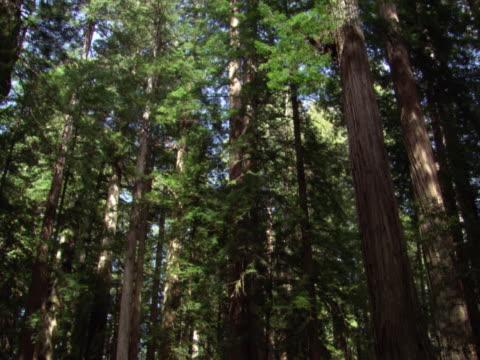 Tall evergreens
