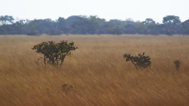 Tall grass field in Angola panning shot