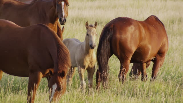 a tall grass field with several brown horses and a palomino foal grazing. - 子馬点の映像素材/bロール