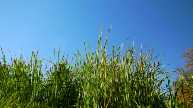 Tall grass on a clear day
