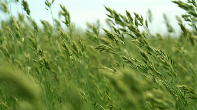 tall grass on movement on meadow - morbidezza video stock e b–roll
