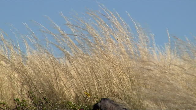 MS Tall grass swaying in wind / Gibeon, Namibia