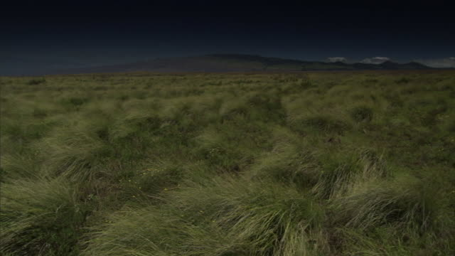 tall grass sways with a gentle breeze on hawaii's big island. - shrubland stock videos & royalty-free footage