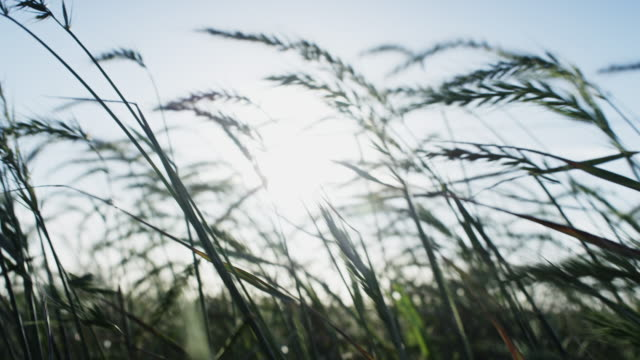 Tall grasses blowing in the morning wind. Shot in slow motion on the Red Dragon at 6K.