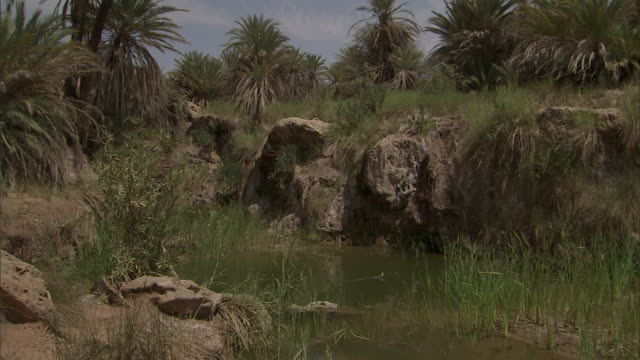 tall grasses grow at an oasis in the sahara desert. - sahara desert stock videos & royalty-free footage