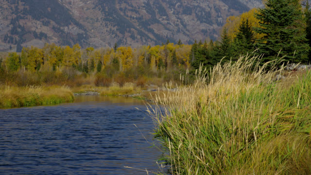 Tall grasses sway on the banks of the Snake River in Grand Teton National Park.