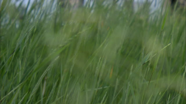 vídeos de stock, filmes e b-roll de cu r/f tall green grass blowing in breeze / stevensville, montana, usa - tela cheia