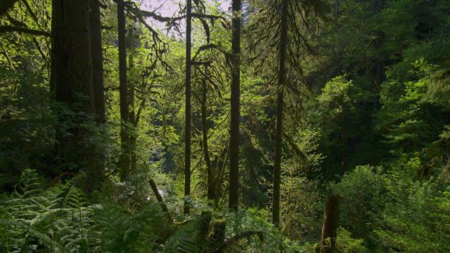 medium pan tall green trees and foliage in lush forest - オレゴン州点の映像素材/bロール