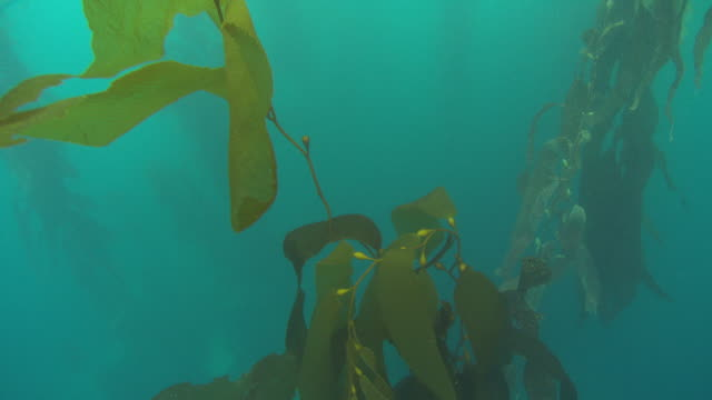 vídeos y material grabado en eventos de stock de a tall kelp plant sways in the ocean's current. available in hd. - cuchilla