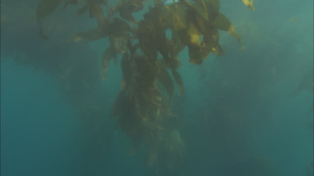 stockvideo's en b-roll-footage met tall kelp plants grow from the ocean floor. available in hd. - kelp