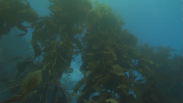 vídeos y material grabado en eventos de stock de tall kelp plants grow from the ocean floor. available in hd. - quelpo
