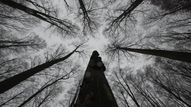 tall leafless deciduous trees sway in the wind - deciduous stock videos & royalty-free footage