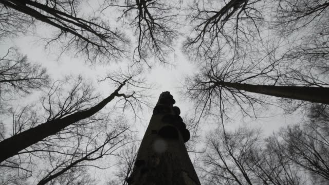 tall leafless deciduous trees sway in the wind - bare tree stock videos & royalty-free footage