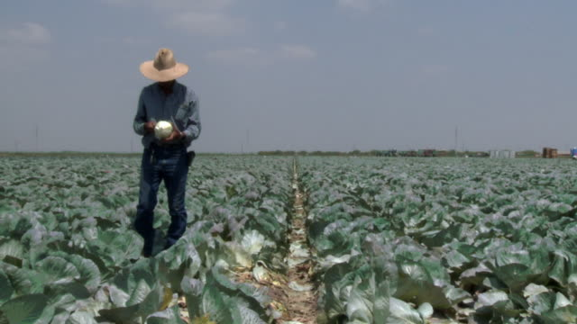 ws ts tall man in jeans and hat inspecting crops in cabbage field / rio grande valley, texas - lavoratore agricolo video stock e b–roll