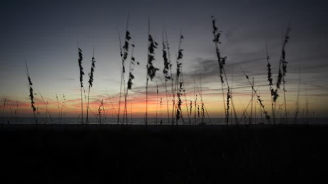 tall marram grass during sunset, beauty shot - marram grass stock videos and b-roll footage