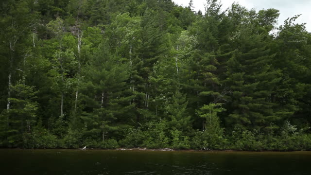 Tall Pine Forest Surrounding Edge of Lake in Canada