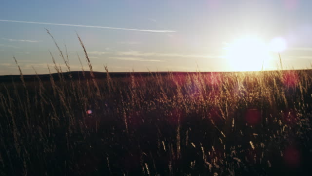 Tall prairie grass at sunset.