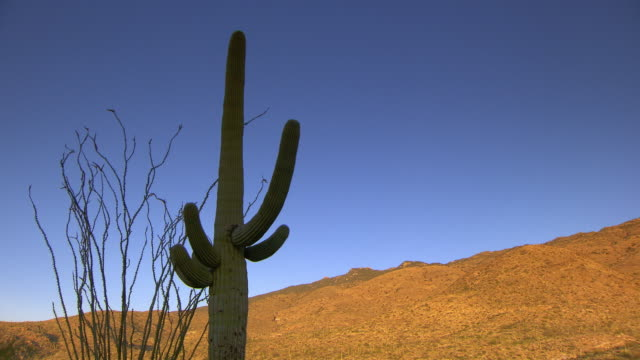 Tall Saguaro cactus silhouetted against brigh blue desert sky