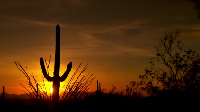 Tall Saguaro cactus silhouetted against desert sunset