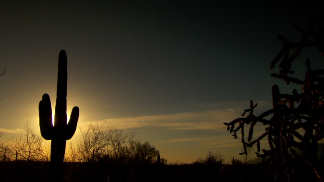 tall saguaro cactus silhouetted against sunset in desert - cactus sunset stock videos & royalty-free footage
