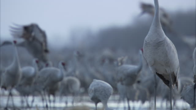 a tall sandhill crane slowly looks around as others forage in a marsh. - sandhill crane stock videos & royalty-free footage