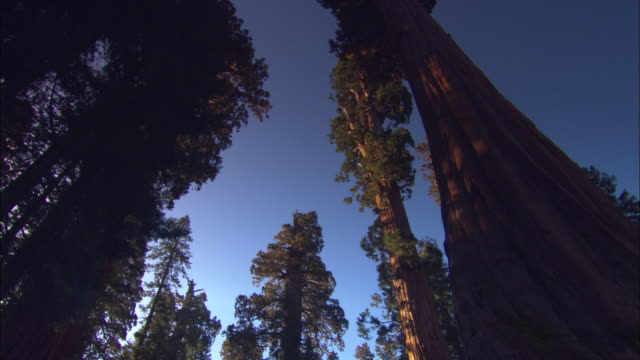 vídeos y material grabado en eventos de stock de ms, la, tall sequoia trees against clear sky at twilight, round meadow, sequoia national park, california, usa - secoya gigante