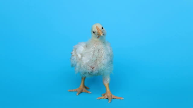 Tall skinny chicken isolated on background