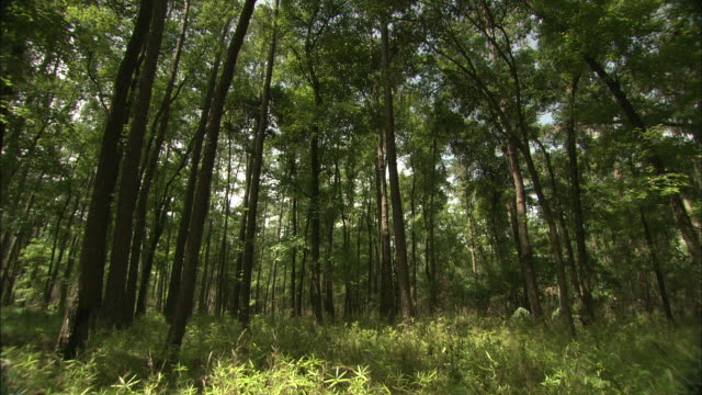 tall, slender trees grow in the okefenokee swamp. - オケフェノキー国立野生生物保護区点の映像素材/bロール