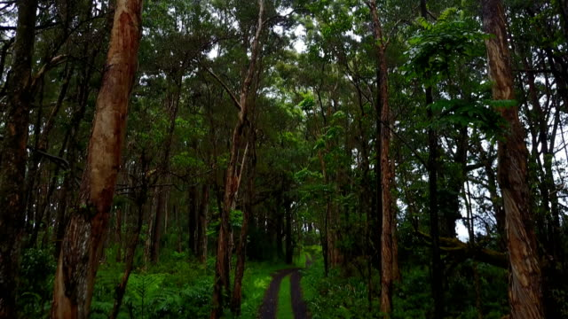 Tall Stands of Trees in Remote Forest on Maui Island