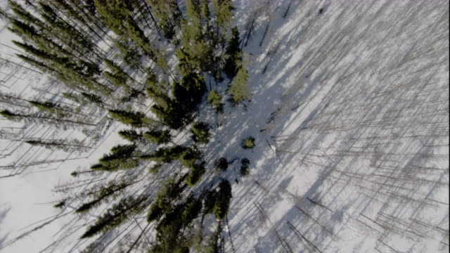 tall, thin trees cast shadows across a snowy boreal forest. available in hd. - manitoba stock videos & royalty-free footage