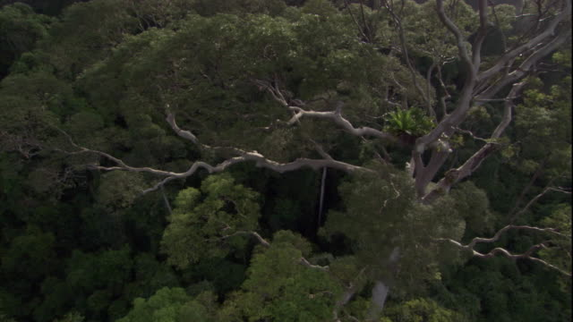 a tall tree towers over the rest of the rainforest in sabah, borneo. available in hd. - rainforest stock videos & royalty-free footage