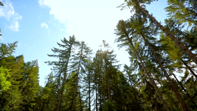 tall trees in the forests of the pacific northwest, usa - fatcamera stock videos and b-roll footage