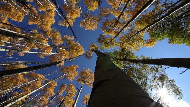 vidéos et rushes de ms tall trees / santa fe, new mexico, united states - tronc d'arbre
