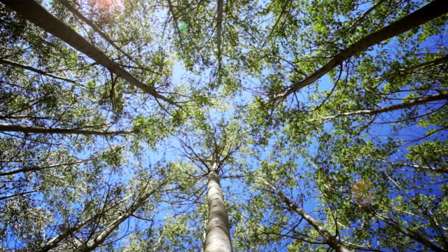 tall trees sway in a breeze. - schwanken stock-videos und b-roll-filmmaterial