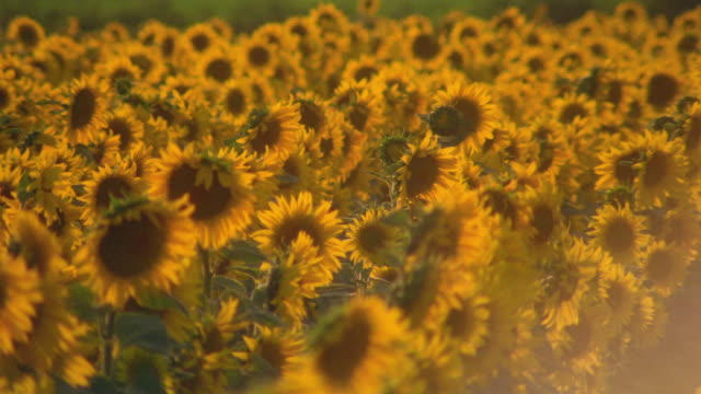 tall yellow sunflowers sway in the wind. - temperate flower stock videos and b-roll footage