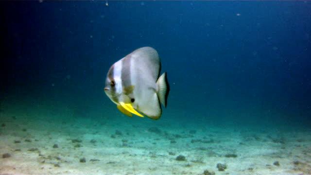 Tallfin läderlappsfisk (Platax teira) aka Longfin Spadefish Ko Haa skärgård, Andamansjön, Krabi, Thailand.