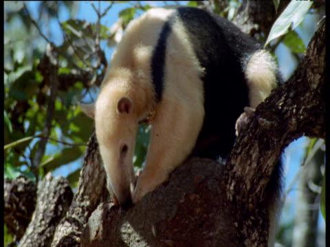tamandua breaks into ant nest in tree, brazil - アリクイ点の映像素材/bロール