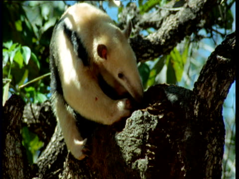 Tamandua claws into ants nest in canopy, Brazil