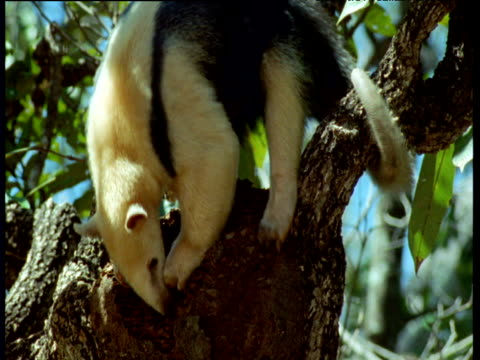 tamandua claws into ants nest in canopy, then slips, but clings on with tail, brazil - failure stock videos & royalty-free footage