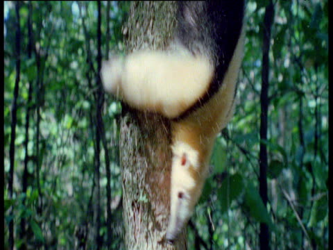 Tamandua climbs down tree head first in a shower of dust and bark, Brazil